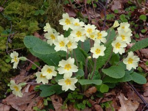 Primroses in Brundholme Wood